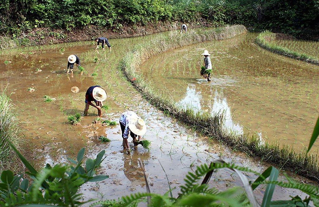 被列为粮农组织全球重要农业文化遗产的中国江西万年稻作文化系统。