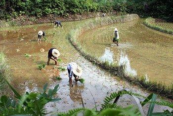 Rizières faisant partie du système rizicole GIAHS dans le Jiangxi, en Chine.