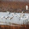 """طيور """"بلاتاليا لوكوروديا"""" أو طيور أبو ملعقة، وهي طيور كبيرة تتواجد في محميات الطيور المهاجرة في خليج بوهاي الأصفر في الصين."""