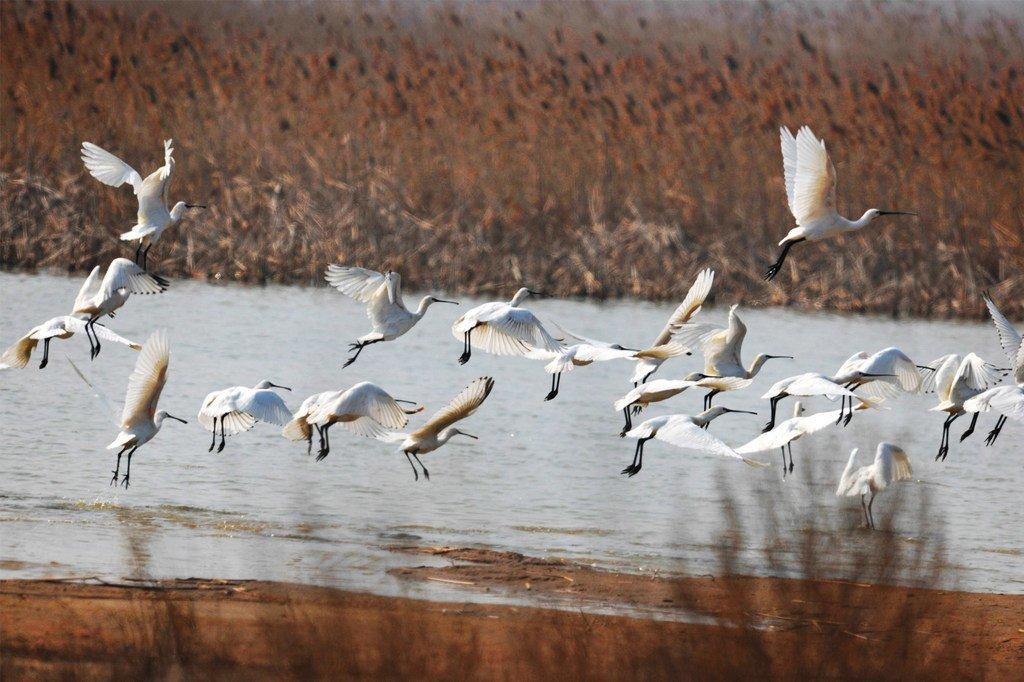 Des oiseaux Platalea leucorodia (ou spatule eurasienne) pataugent dans les sanctuaires d'oiseaux migrateurs de la mer Jaune et du golfe Bohai en Chine.